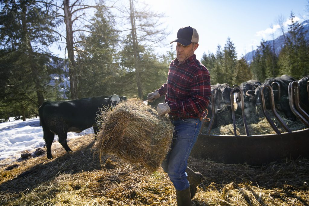 A man hauling a bale of hay to a group of cattle at a feeding pen